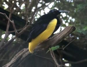 Twelve wire bird of paradise (Seleucidis melanoleucus)
