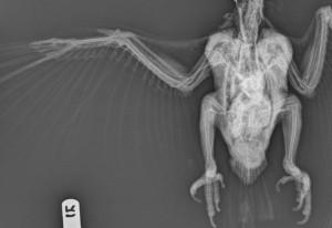 Arteriovenogram (standard radiograph) of a blue throated macaw (Ara glaucogularis).