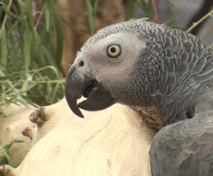 We need your help!  Your tax deductible donation will do directly to the Grey Parrot Anatomy Project.