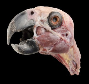 Grey parrot (Psittacus erithacus erithacus) superficial dissection of the head.