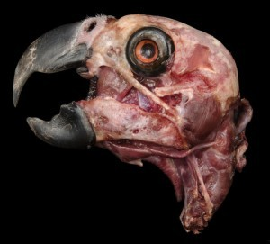 Deeper dissection of the same grey parrot above.