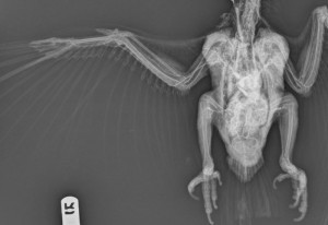 Arteriovenogram (standard radiograph) of a blue throated macaw (Ara glaucogularis).