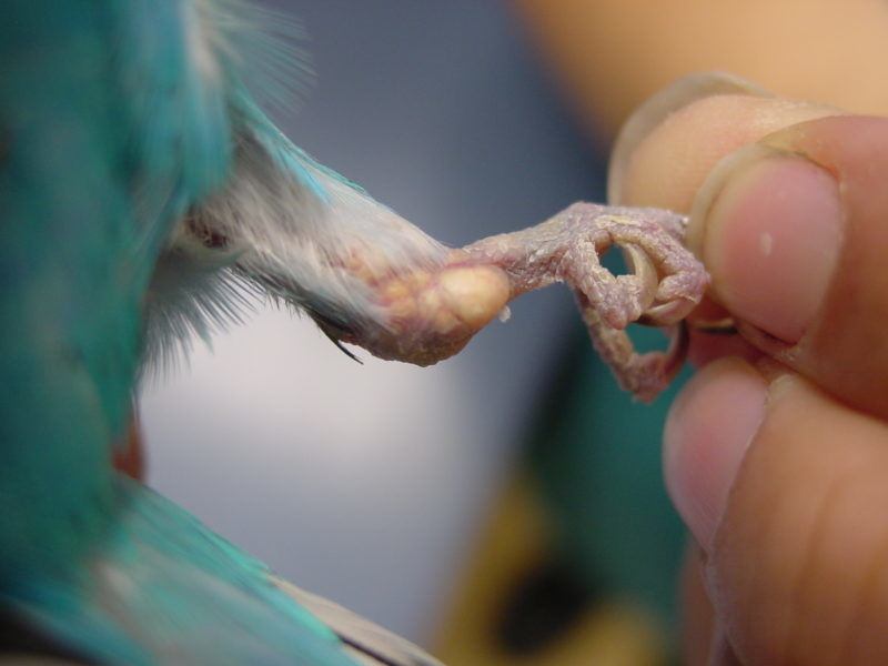 budgie with articular gout