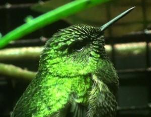 Green tailed trainbearer (Lesbia nuna)
