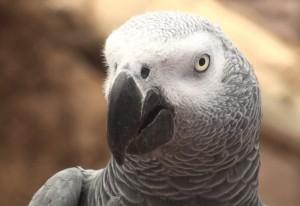 Grey parrot (Psittacus erithacus erithacus).