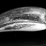 Lateral view of a keel-billed toucan (Ramphastos sulfuratus) head